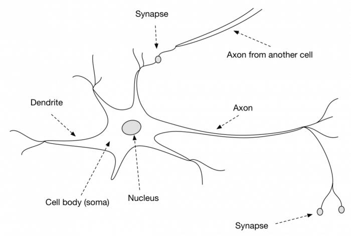 biological neuron